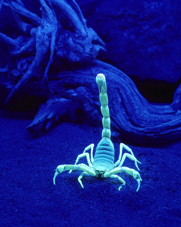 Scorpion (Hadruus arizonensis) under a black light. Image shot 2004. Exact date unknown.