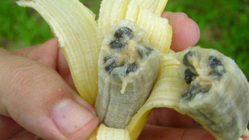 banana disease 1
