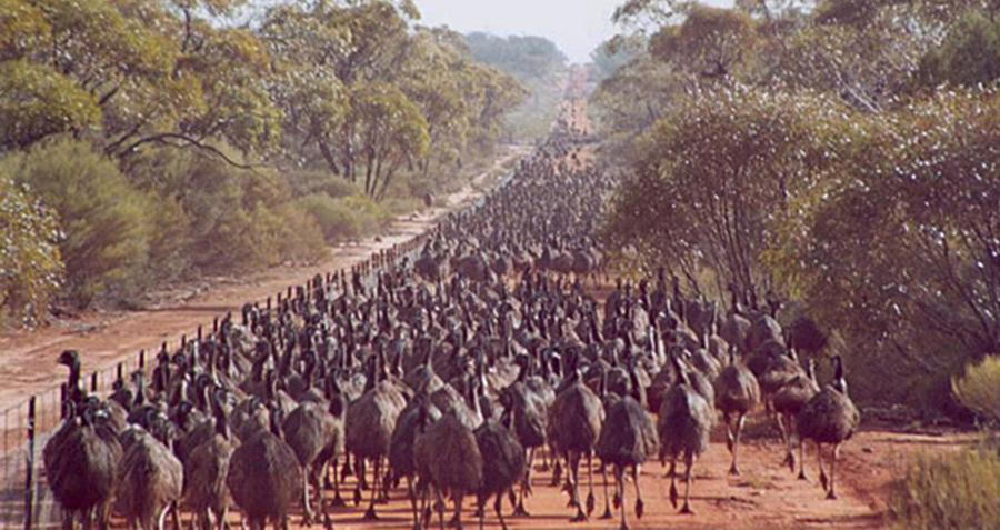 emu-war-huge-flock
