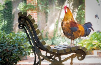 animal-chicken-close-up-1128574