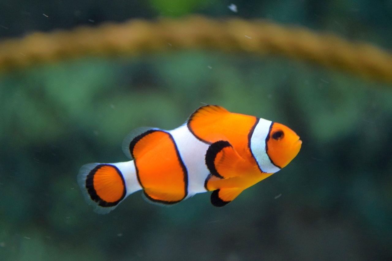 animal-clown-fish-fish-128756