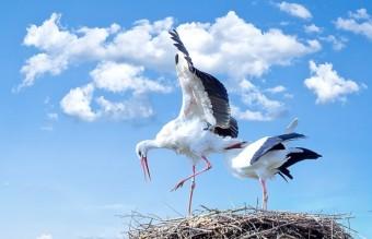 animals-nest-storks-35060