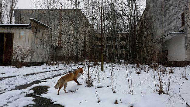 chernobylwildlife1-625x351