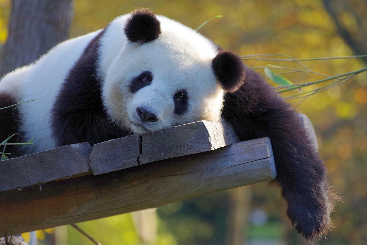 panda-3857754_1280