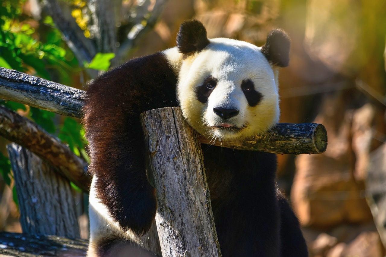 panda-bear-1086012_1280