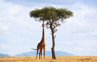 giraffe-2191662_1280