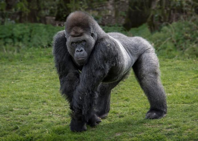 gorila_cuerpo_entero