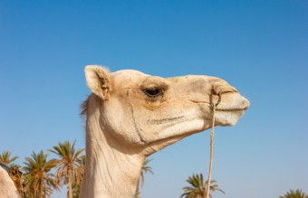 animal-arabian-camel-camel-2238442