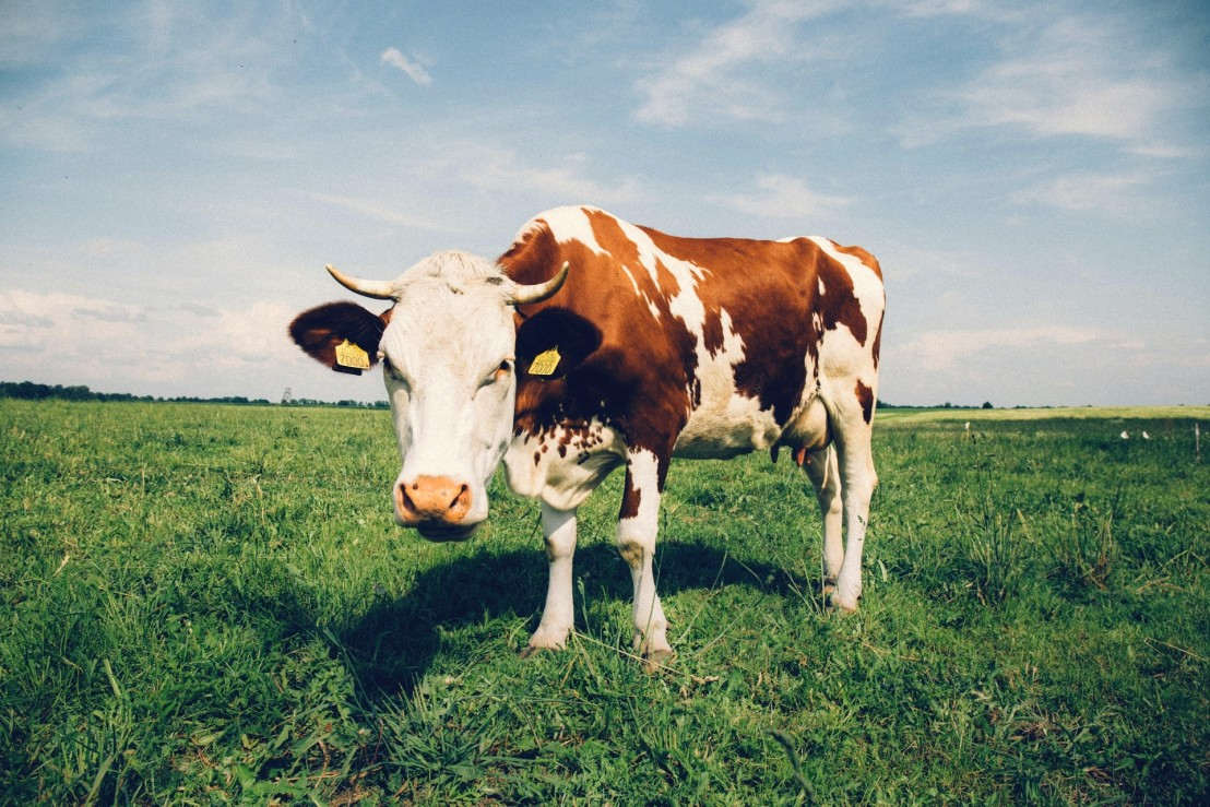 cattle-close-up-cow-234791