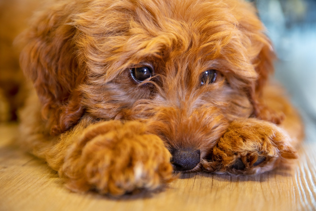 Cute labradoodle puppy dog laying down looking sad or thoughtful