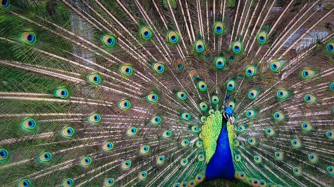peacock-1246843_1920