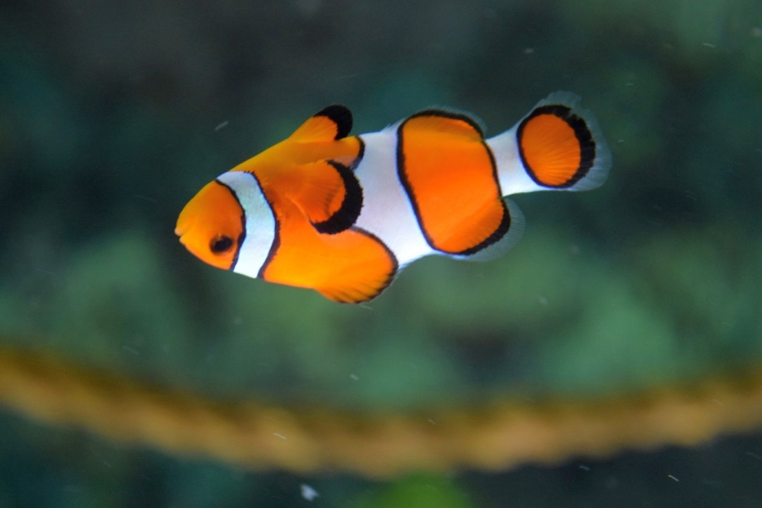 clown-fish-swimming-128756