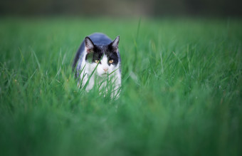 Cat on the hunt
