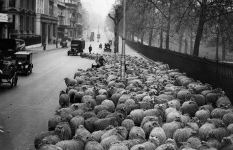 Sheep Traffic