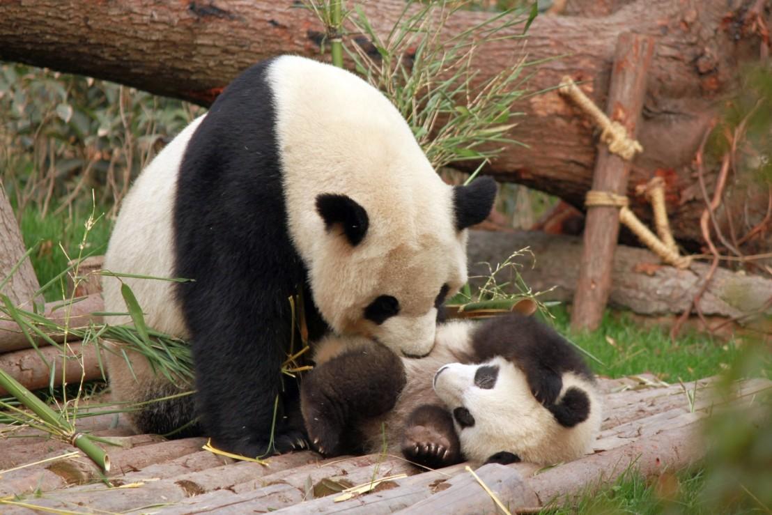 photo-of-panda-and-cub-playing-1661535