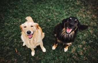 two-long-coated-brown-and-black-dogs-3114143