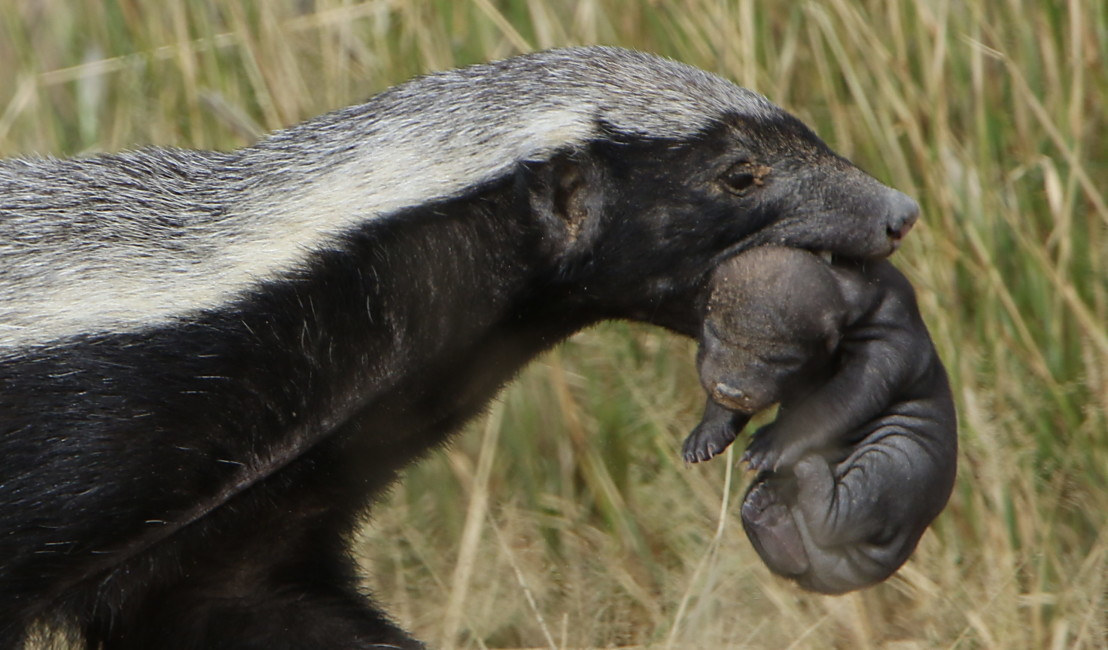 Honey badger, Mellivora capensis, carrying young pup in her mout