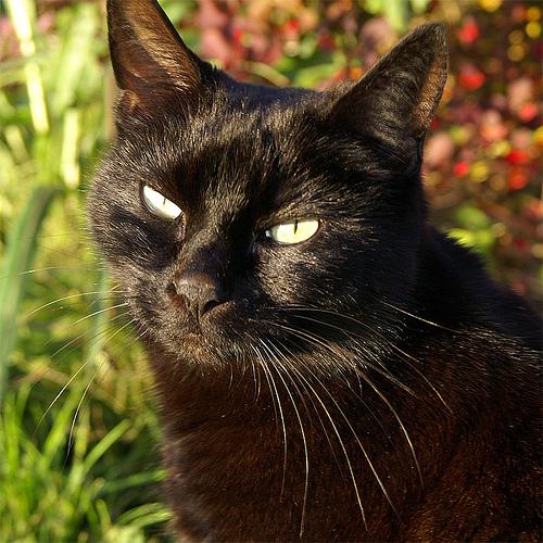 A_black_cat_named_Tilly