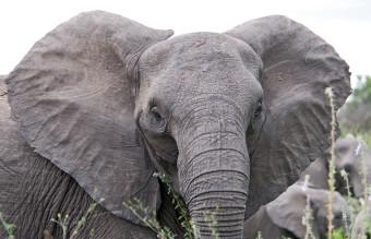 Angry_elephant_ears