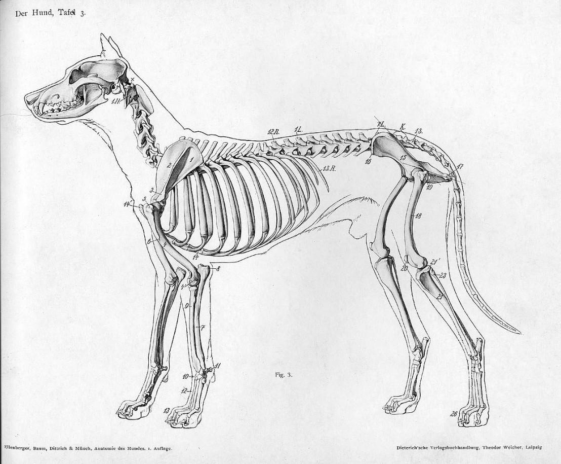 1240px-Dog_anatomy_lateral_skeleton_view