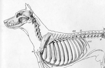 1240px-Dog_anatomy_lateral_skeleton_view