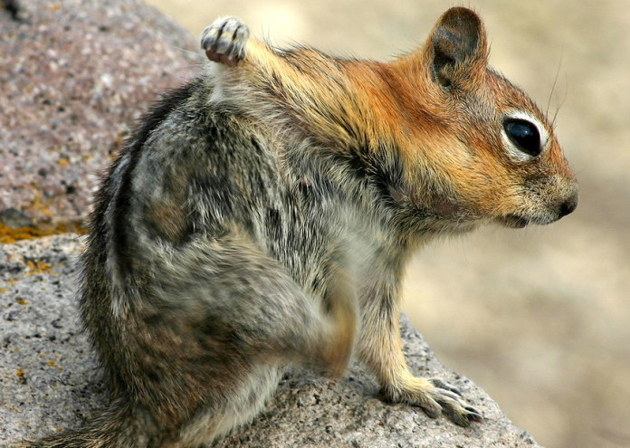1280px-Squirrel_Scratching_the_Armpit_with_its_Hindlimb