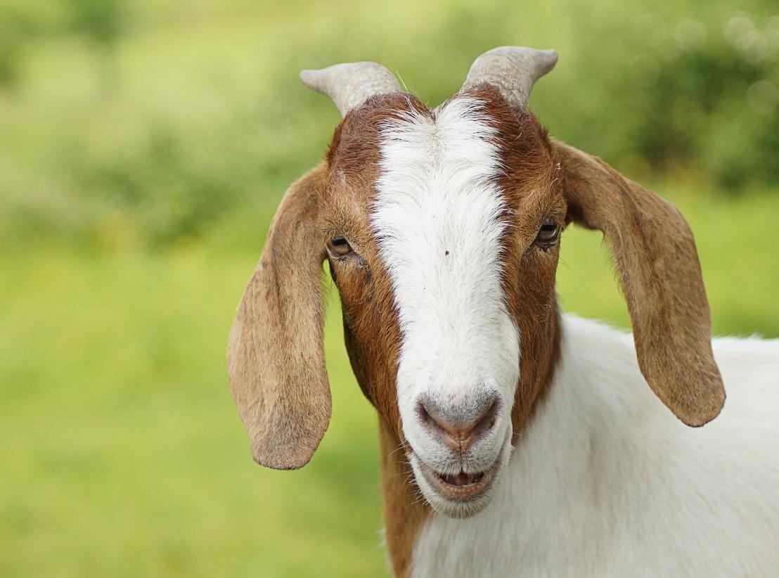 goat-3435923_1920