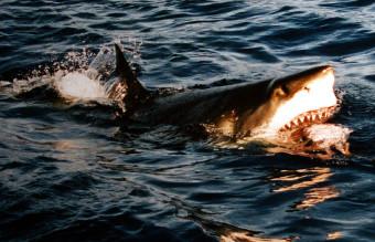 800px-Surfacing_great_white_shark