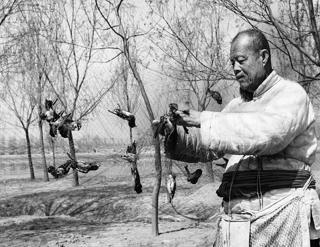More than 400,000 grain-eating sparrows were wiped out in the three day all-out war on them which ended april 21, 1958, 85 year old chang teh has played a brilliant part in the war against the sparrows, he caught over 30 sparrows with nets on an isle