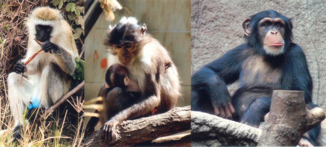 SIV_primates
