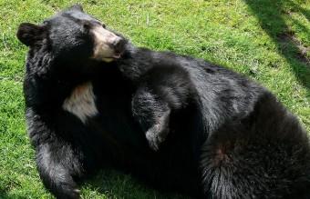 1280px-Black_Bear-27527