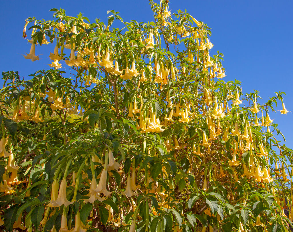Yellow trumpet flowers of Brugmansia plant, Learn Angel Trumpet Tree, Portugal