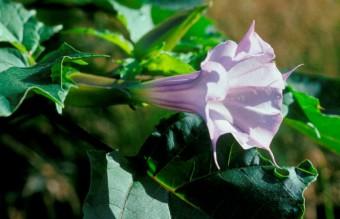 Datura stramonium tatula flower. Shenandoah National Park. Virginia. USA